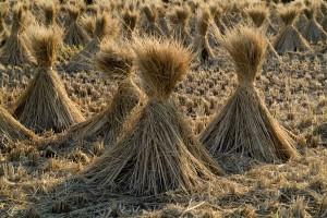 Récolte du riz bio