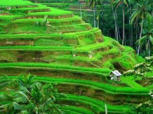 Culture de riz en escalier