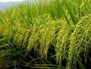 Le riz bio sur plante